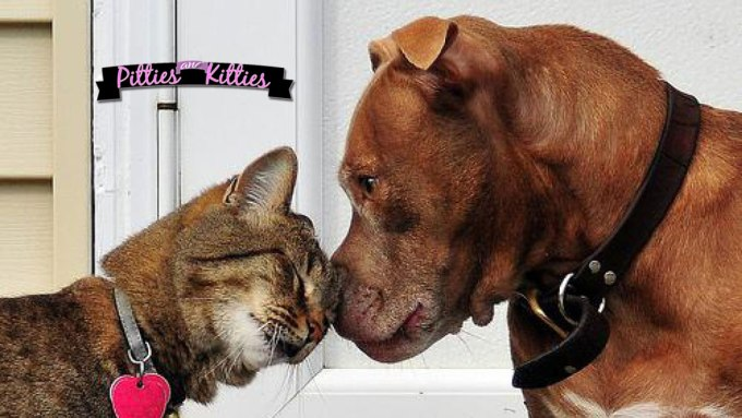 pit bull and cat